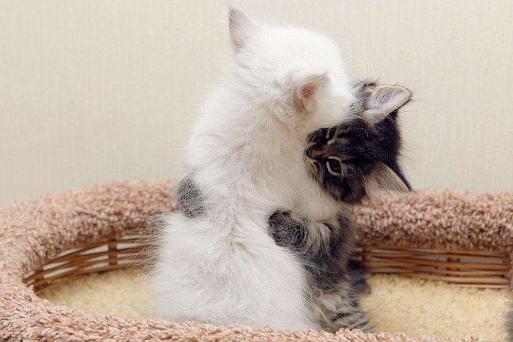 На этой милой фотографии невский маскарадный мальчик пытается откусить усы родной сибирской сестре