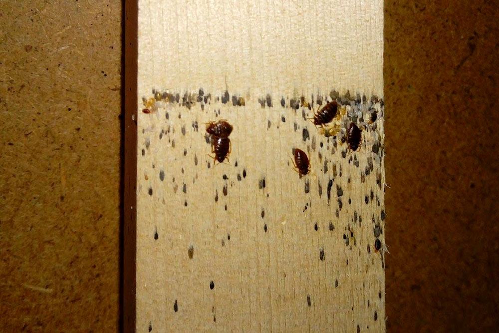 Черные точки — экскременты клопов. По точкам можно найти логово насекомых