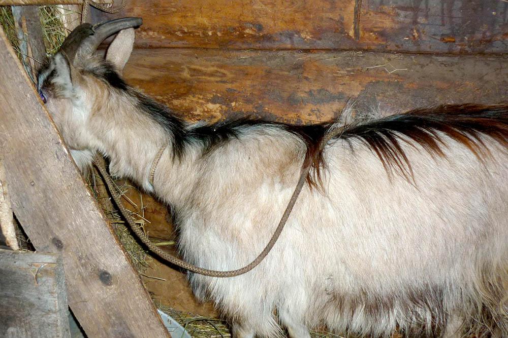 Коза Чехия ест на скамейке, где мыеедоим. Коз удобнее доить наскамейках