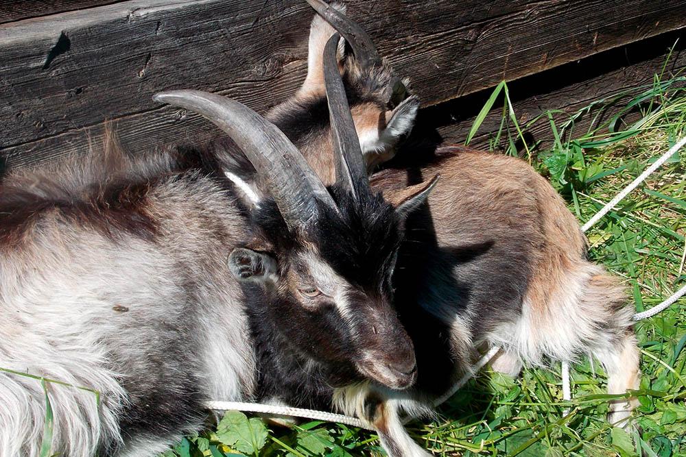 Козла Муската односельчане одалживают у насдляоплодотворения своих коз. В качестве благодарности они тоже нампотом помогают, например, разрешают состричь шерсть со своихкоз. Эту шерсть мы используем дляпряжи