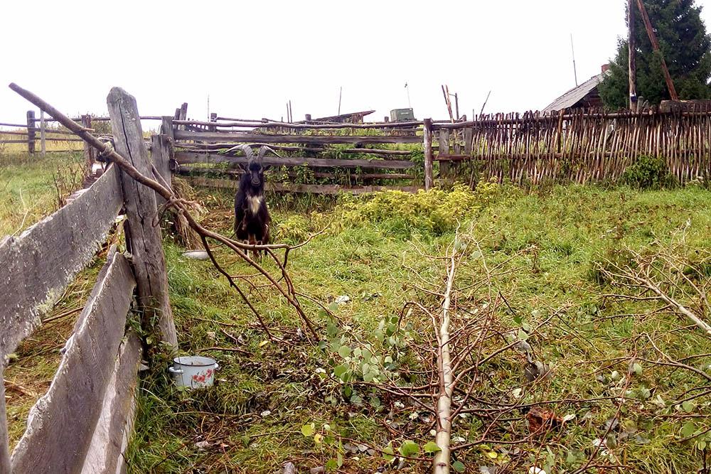 Загон тоже огорожен забором высотой полтора метра, чтобы козы не убежали. Мы приносим козам ветки ивы, которые они обгладывают