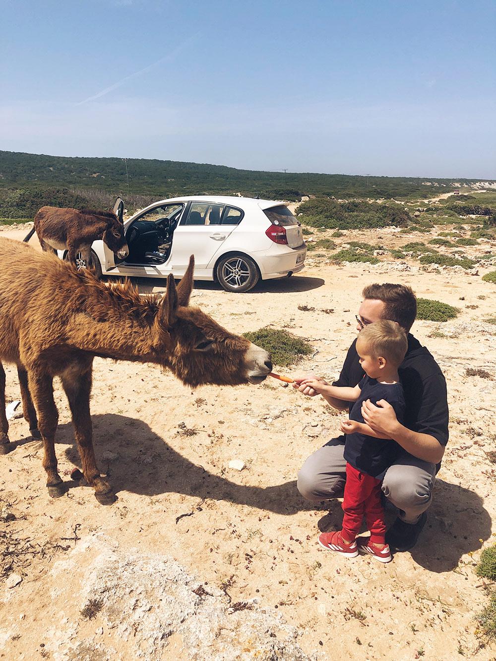 На полуострове Карпас на Северном Кипре можно встретить диких ослов
