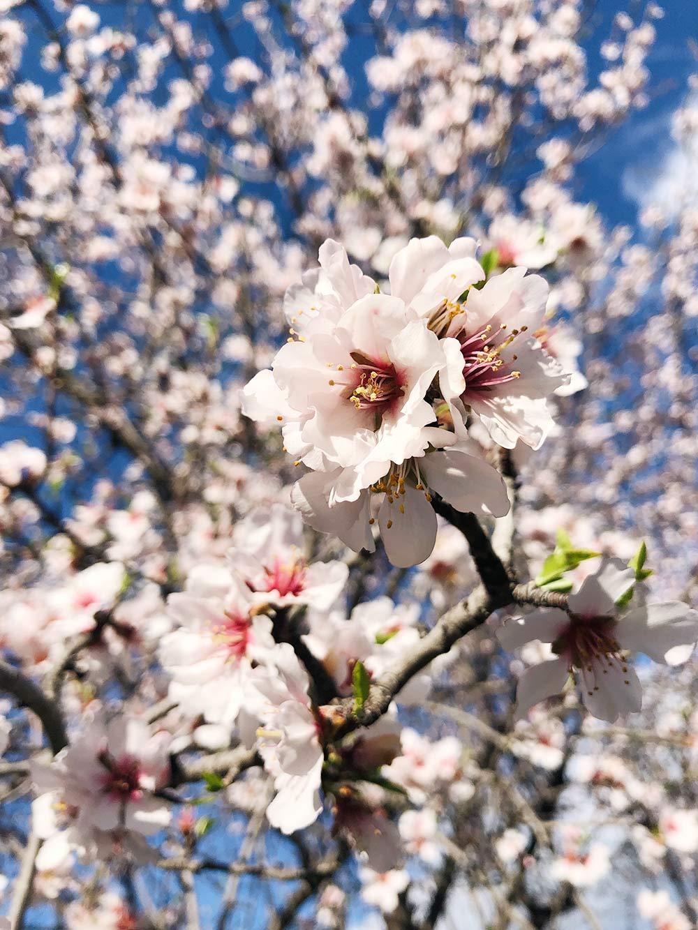 Цветущий миндаль в марте