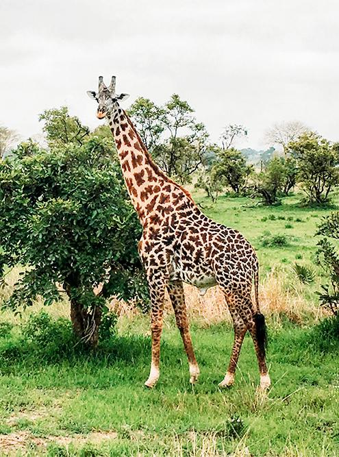 Жирафы огромные — встань я рядом, оказалась бы ростом с жирафью ногу