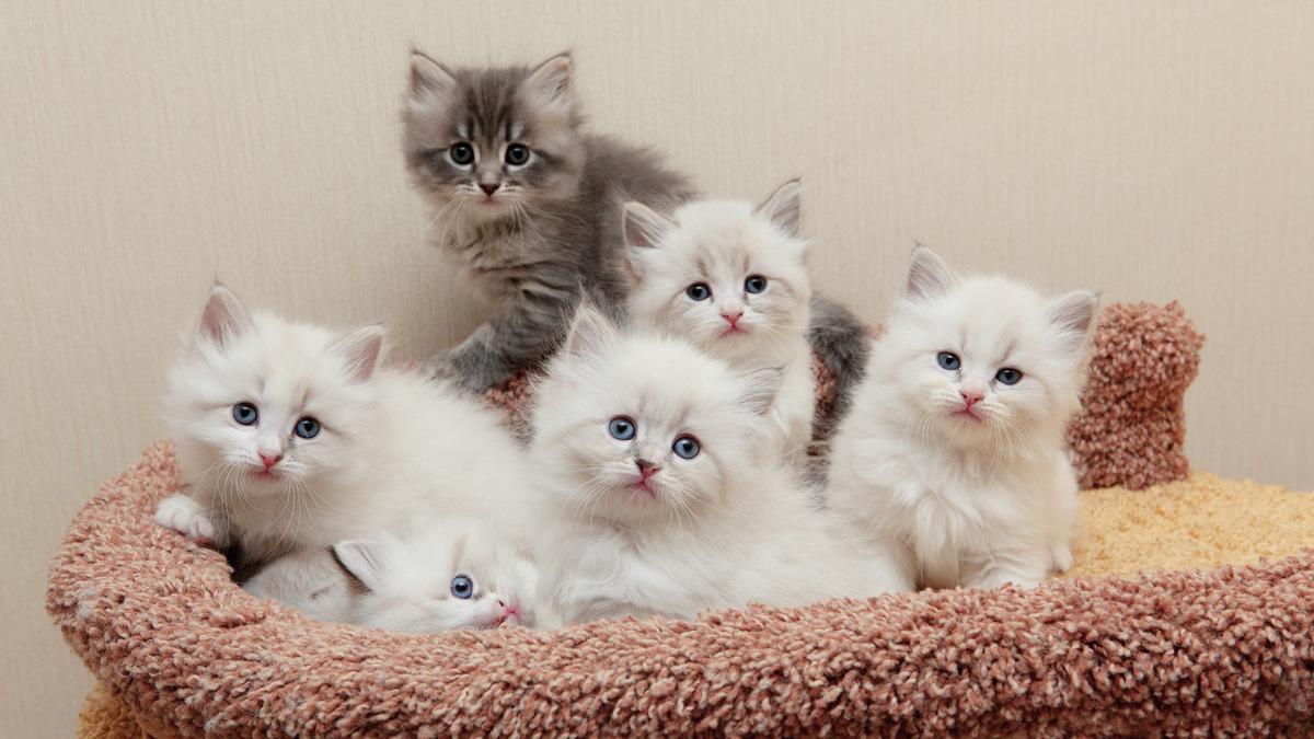 Сколько стоит вырастить сибирских котят
