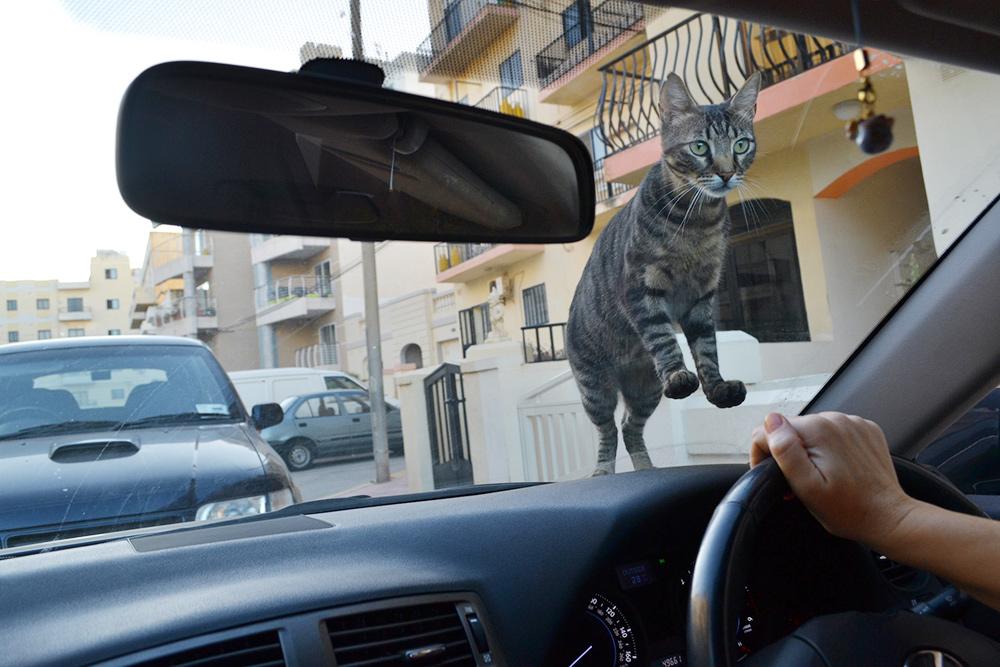 На машинах часто спят коты: их на Мальте много