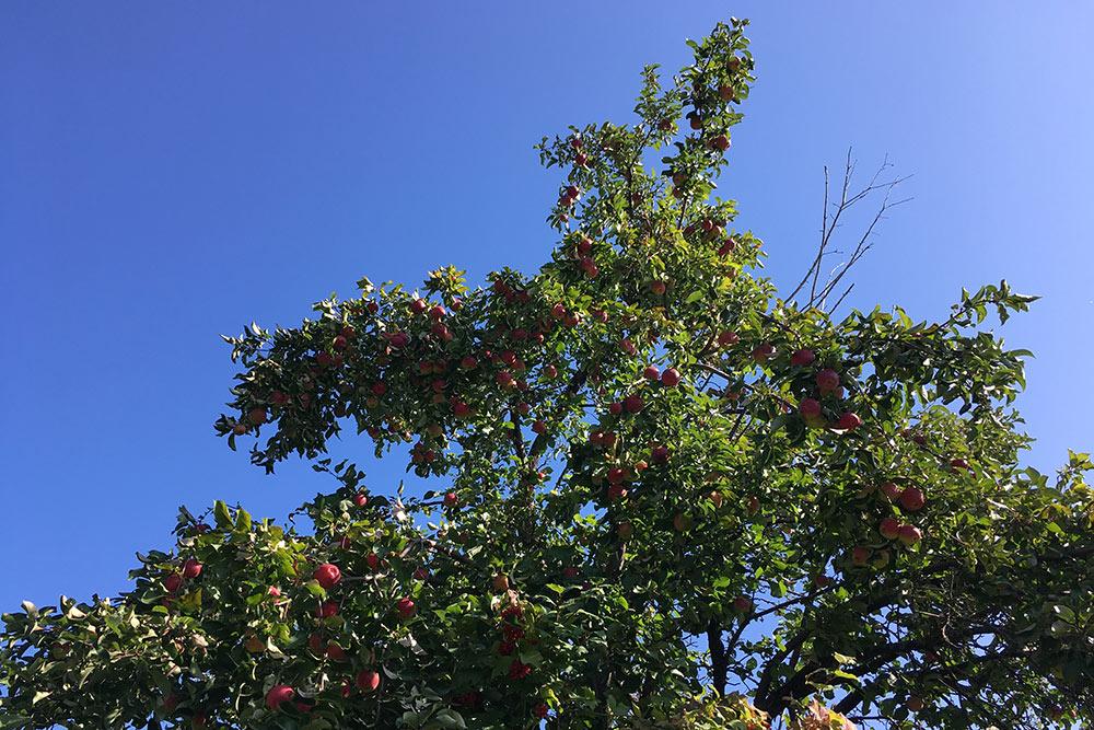 Яблоки в деревне