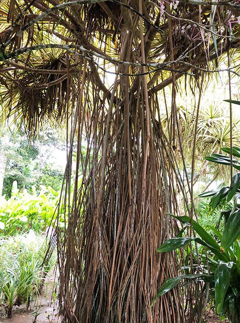 Лианы — мои любимые растения в тропиках