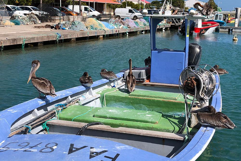 Пеликаны врыбацком порту Гваделупы были сытые, ленивые ивнимания нанас необращали