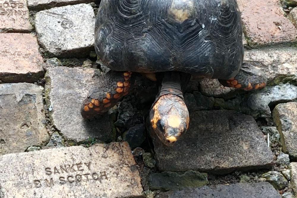 Целеустремленная черепаха ползет потропинке впарке живой природы наБарбадосе