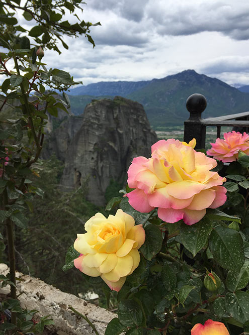 В мае в Метеорах везде цветут розы
