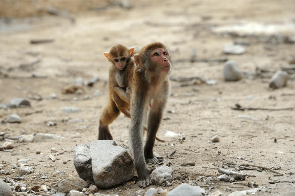Остров обезьян – излюбленное место туристов. Но будьте осторожны с этими животными: с туристами они особо не церемонятся и любят воровать еду и сумки