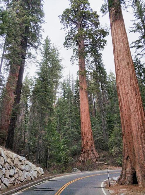 В роще секвой Марипоса растут 2 из 30 самых больших деревьев в мире. У самой старой секвойи есть имя — Гигантский гризли. Ей больше 2000 лет