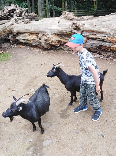 В оломоуцком зоопарке можно покормить козочек