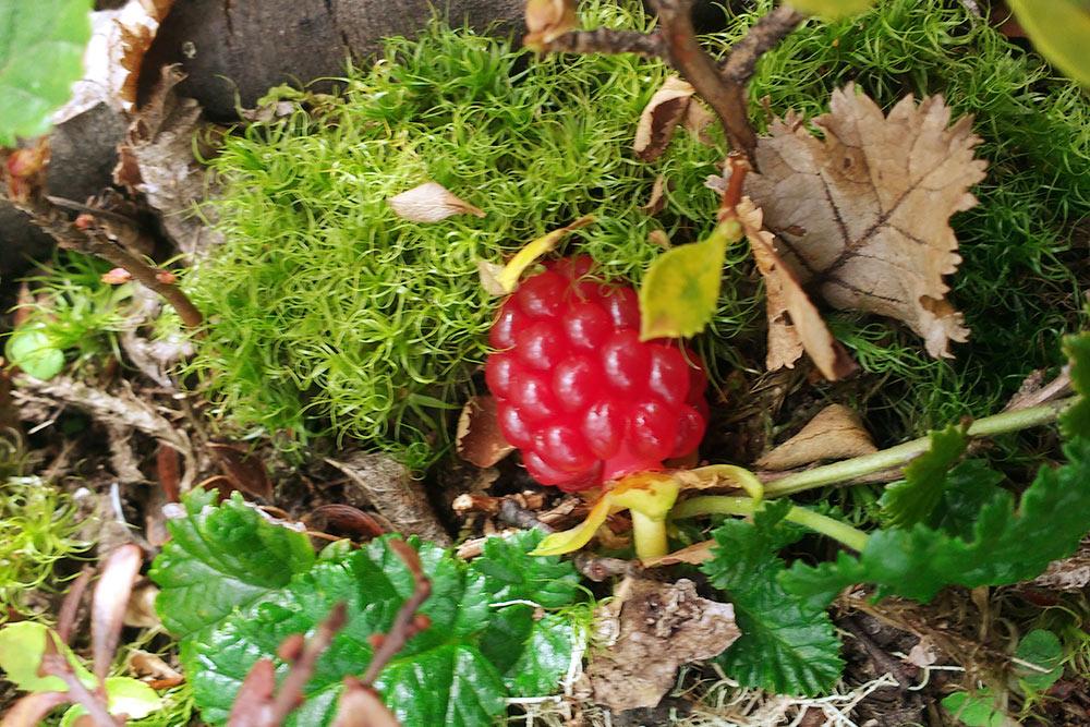 Попадаются странные, но вкусные ягоды — эта по вкусу напоминает землянику, но выглядит как малина