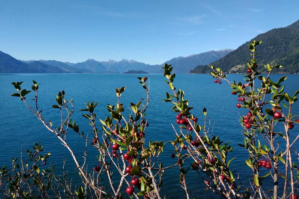 Озеро Петроуэ. Эта местная ягода называется мурта, очень ароматная и вкусная — помогает подкрепиться в дороге