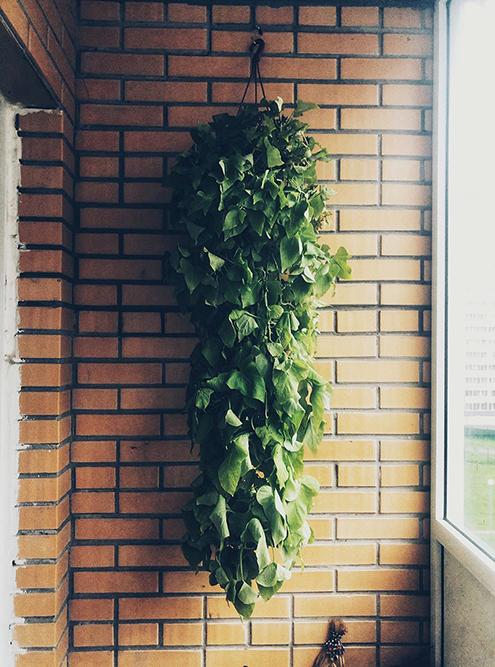 Моя ипомея батат. Где-то раз в день я захожу на балкон — полюбоваться на нее, осмотреть листья, потрогать почву
