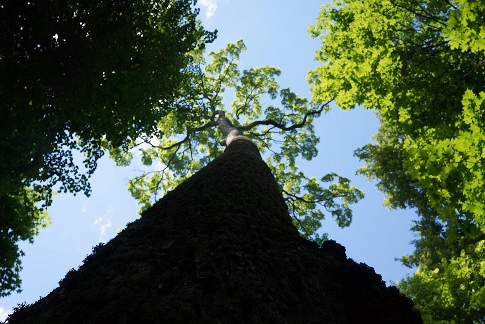 По пути от главного дома козеру Кучане будет живописная липовая аллея. Если свернуть снее иуглубиться в парк, найдете старые огромные деревья, которые необхватить руками