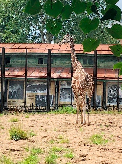 В Ленинградском зоопарке можно увидеть жирафа