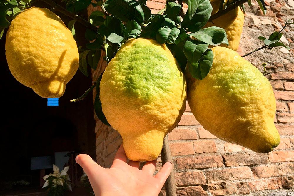 Вдекабре наСицилии начинается сезон цитрусовых. Эти цитроны сицилийцы выращивают вкадках как комнатное растение