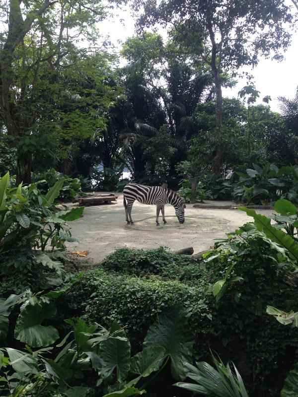 Еще в Сингапуре очень большой зоопарк, где все животные живут в условиях, максимально приближенных к естественной среде обитания: никаких вольеров