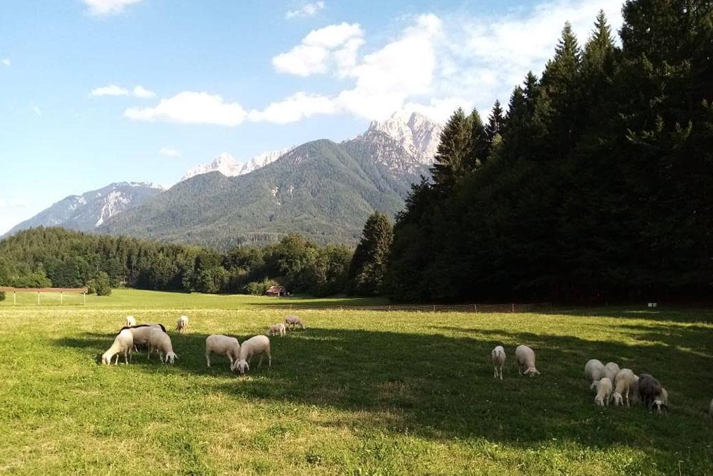В стране многие занимаются сельским хозяйством, поэтому даже в самых туристических местах вроде Краньской горы разводят скот