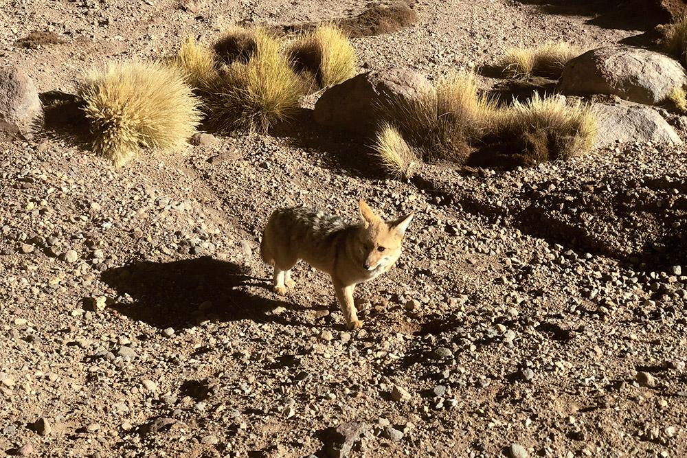 Прямо у дороги встречаются лисы
