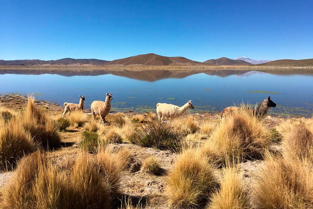 У одной излагун Боливии нам встретились ламы