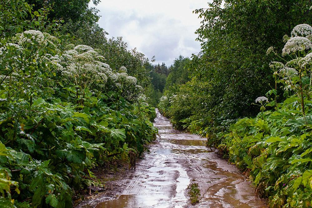 Борщевик часто можно встретить на лугах, лесных полянах, в населенных пунктах, у дорог, на окраинах полей, в парках. Его можно спутать с другими, неядовитыми представителями семейства зонтичных