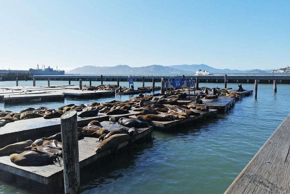 В Сан-Франциско есть пирс, на котором лежат морские котики. Они громко дышат, фыркают и дерутся затеплое место подсолнцем