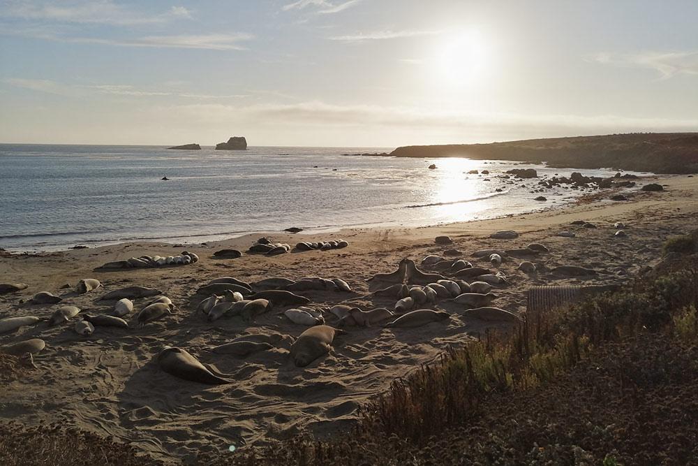 Морские котики наберегу океана на полпути отЛос-Анджелеса доСан-Франциско