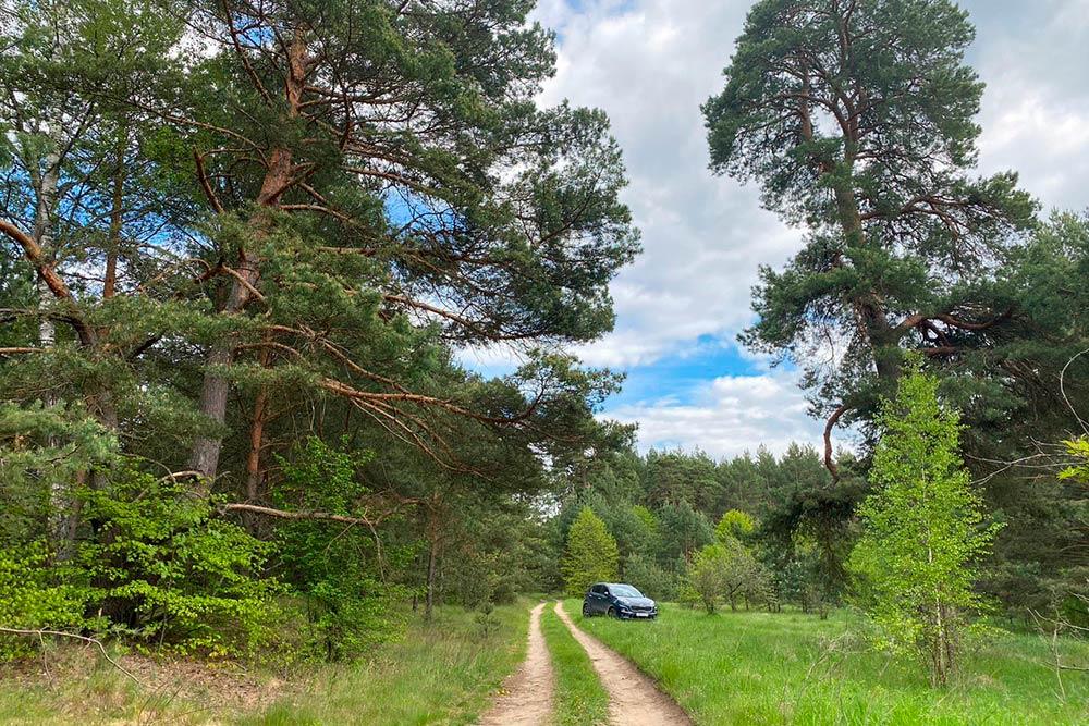 Сосновый лес вЖабыни