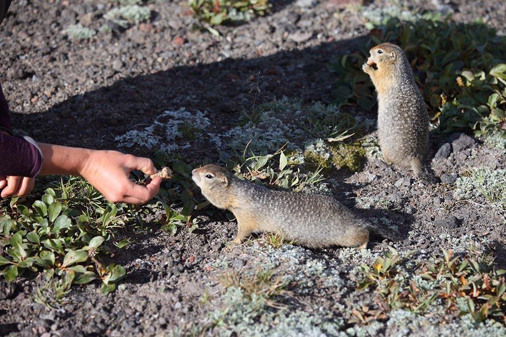 Подкармливать милых сусликов— любимая забава туристов наКамчатке. Зверьки рады галетам, сухофруктам иорехам оттуристов