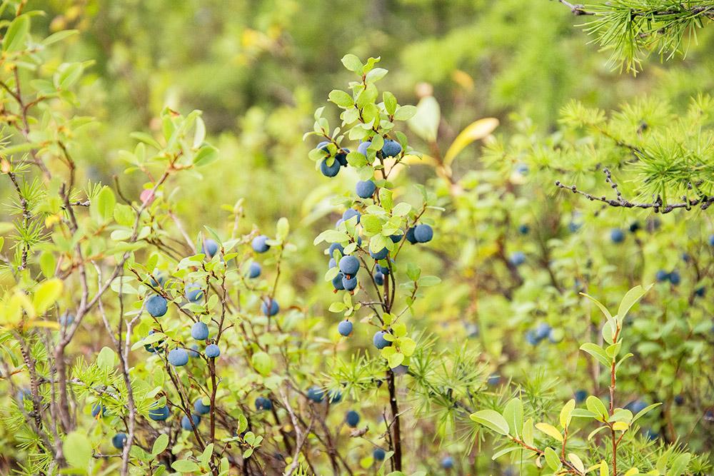 А голубика растет на болотах по всей территории Магаданской области