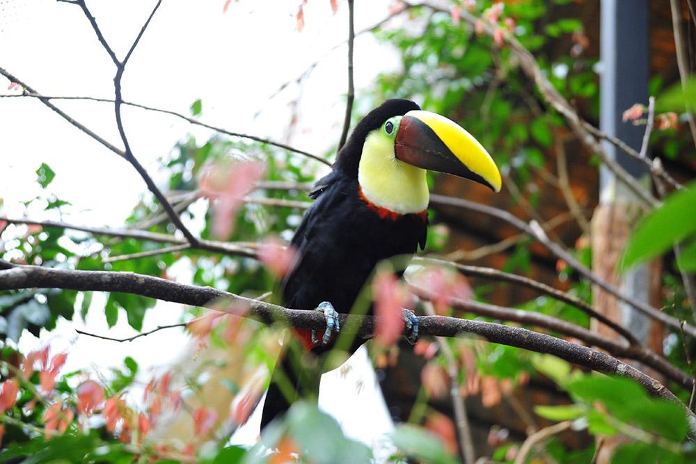 Туканы — визитная карточка Коста-Рики