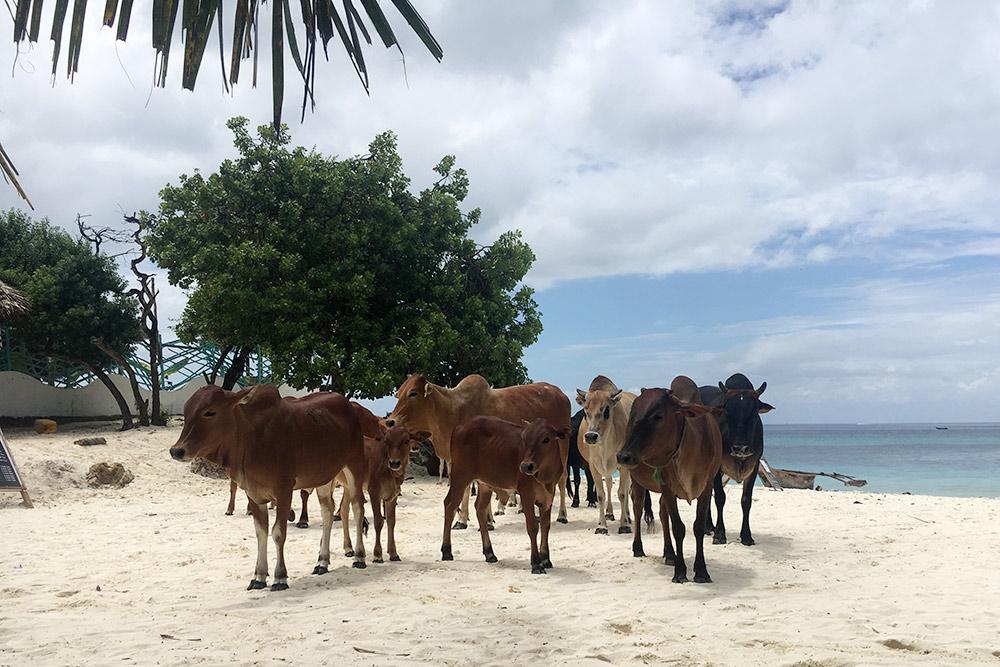 Коровы свободно гуляют по острову и занимают всю тень на пляже, вытесняя оттуда туристов