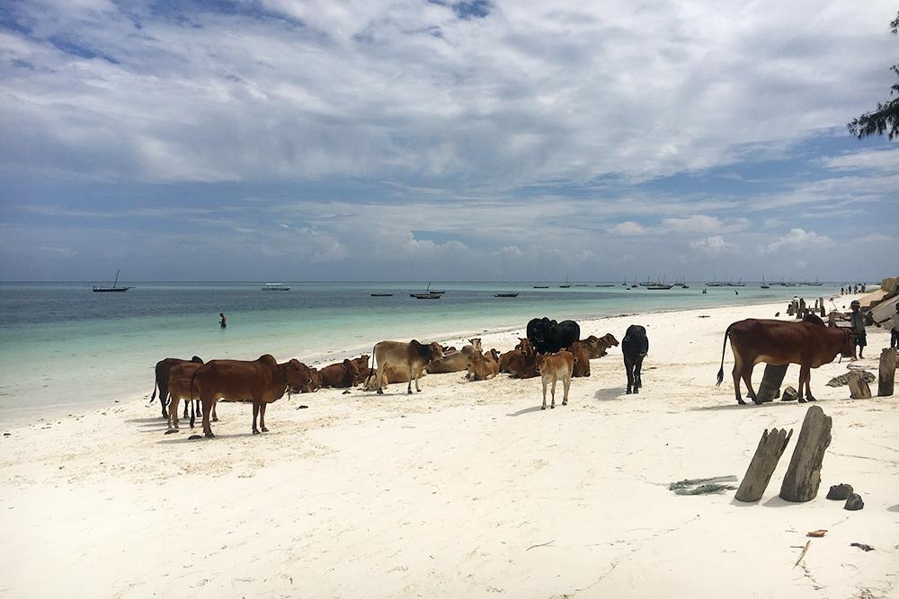 На Нунгви много людей. Иногда приходят коровы из соседней рыбацкой деревни