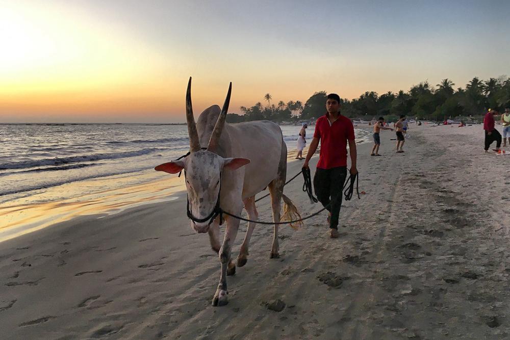 Коровы на пляжах Гоа — обычное дело. Это породистый бык, которого выгуливают, чтобы он был в форме перед боями