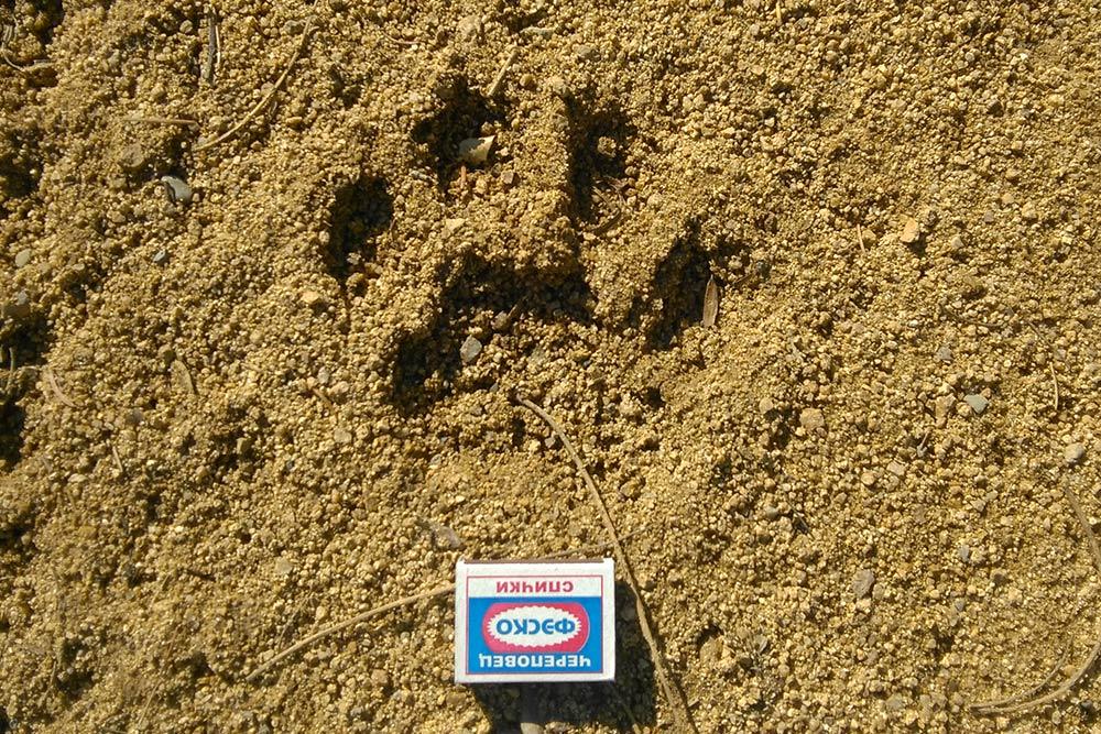 Размер тигра можно определить по его следу: два спичечных коробка — подросток, три и больше — взрослый матерый зверь. На фото следы молодого тигра